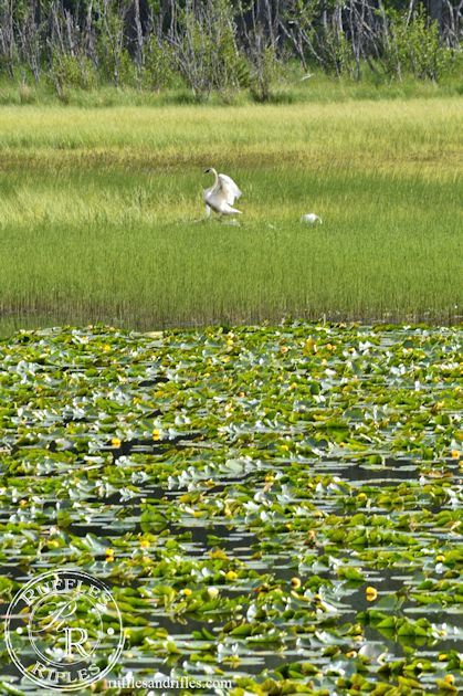Lilypads and swans