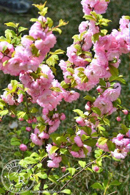 rose tree of china 2